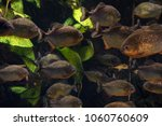 group of piranhas are swimming... | Shutterstock . vector #1060760609