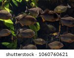 group of piranhas are swimming... | Shutterstock . vector #1060760621
