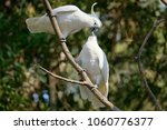 The Sulphur Crested Cockatoo ...