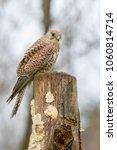 european kestrel  falco... | Shutterstock . vector #1060814714