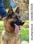 close up of german shepherd dog | Shutterstock . vector #1060815035