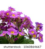 early spring  primroses... | Shutterstock . vector #1060864667