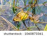 early spring   a toad female ... | Shutterstock . vector #1060873361
