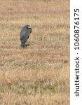 great blue heron  ardea... | Shutterstock . vector #1060876175