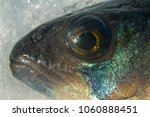 fresh fish head | Shutterstock . vector #1060888451