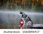 Siberian Husky On The Shores O...