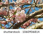 Small photo of Flowers of the Japanese Cherry Accolade in spring (prunus sargentii x subhirtella accolade)
