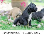 baby french bulldog puppy. dog... | Shutterstock . vector #1060924217