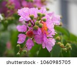Small photo of Lygerstroemia Speciosa, Angiosperms , Rosids, Myrtales, Lythraceae, province flower of Ranong and Sakolnakhon ,Thailand is perennial .