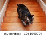 Stock photo striped cat running and bounding up hardwood stairs 1061040704