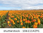 tulip fields of the... | Shutterstock . vector #1061114291