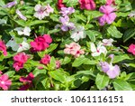 flowers  creeper with beautiful ... | Shutterstock . vector #1061116151