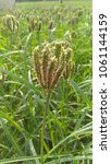 Small photo of Healthy ragi plant in the field