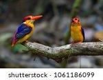 Beautiful bird, couple of Oriental Dwarf Kingfisher (Ceyx erithaca) Bird standing on the branch, bird from Thailand.