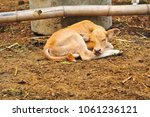 Small Cute Calf Is Sleeping In...