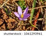 crocus  plural crocuses or...   Shutterstock . vector #1061293961