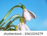 spring snowdrop flowers on blue ... | Shutterstock . vector #1061324279