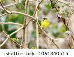 the eurasian siskin is a small... | Shutterstock . vector #1061340515