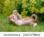 Stock photo cute red tabby and white cat kitten playing and showing its claws outside in green grass in a 1061378861
