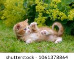 Stock photo cute red tabby and white baby cat playing and showing its claws in green grass in front of flowers 1061378864