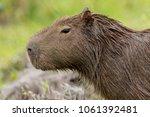 capybara  hydrochaeris...   Shutterstock . vector #1061392481