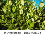 Background Of Round Leaves Dar...