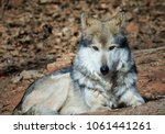 A Mexican Grey Wolf.