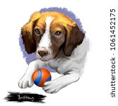 brittany dog breed isolated on...   Shutterstock . vector #1061452175