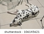 dalmatian has a nap on the... | Shutterstock . vector #106145621