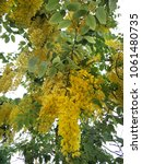Small photo of Vivid of Yellow flower on Bunch name Cassia fistula or Javanese Cassia, Golden shower long bunches on the tree. blooming all summer all year.