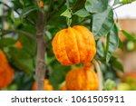 Orange Citrus Fruits Grow On A...