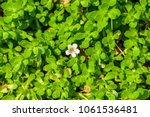 Small photo of Bacopa monnieri (Indian pennywort, brahmi, Dwarf bacopa) ; green and succulent plant, oblong & thick leaves on the stem. The small flowers, actinomorphic and white, with five petals. medicinal plant.