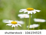 White and yellow daisies in the garden - stock photo