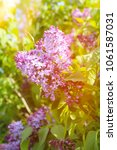 beautiful lilac flowers with...   Shutterstock . vector #1061587031