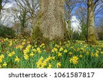 Small photo of Many wild daffodils, Narcissus pseudonarcissus, at the base of an English Oak tree in spring on Shaw Common near Dymock, The Royal Forest of Dean, Gloucestershire, United Kingdom