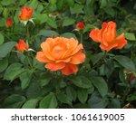 Stock photo tea roses blossom in the garden 1061619005