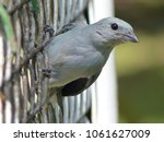 Small photo of Palm tanager (Thraupis palmarum) Thraupidae family. Amazonas, Brazil