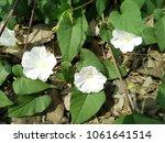 glory morning flowers   white... | Shutterstock . vector #1061641514