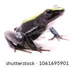 kokoe poison dart frog ...   Shutterstock . vector #1061695901