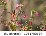 rufous hummingbird in flight... | Shutterstock . vector #1061700899