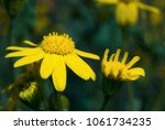 first spring flowers yellow in... | Shutterstock . vector #1061734235