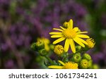 first spring flowers yellow in... | Shutterstock . vector #1061734241