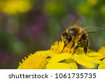 bee on yellow flower collecting ... | Shutterstock . vector #1061735735