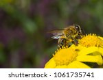 bee on yellow flower collecting ... | Shutterstock . vector #1061735741