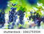 Close Up Of Bunches Of Ripe Re...