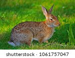 Stock photo a wild brown and white rabbit feeding on grass 1061757047