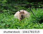 portrait of capybara in nature...   Shutterstock . vector #1061781515