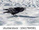 icelandic black raven standing... | Shutterstock . vector #1061784581