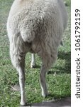 Small photo of The rear end of a ewe showing a docked tail