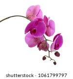 beautiful purple phalaenopsis... | Shutterstock . vector #1061799797